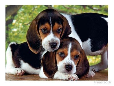 Clementoni Puzzle Hunde 500 teilig
