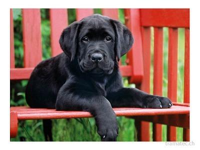 Clementoni Puzzle 500T The black dog